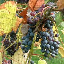 Bush Grapes in the Region